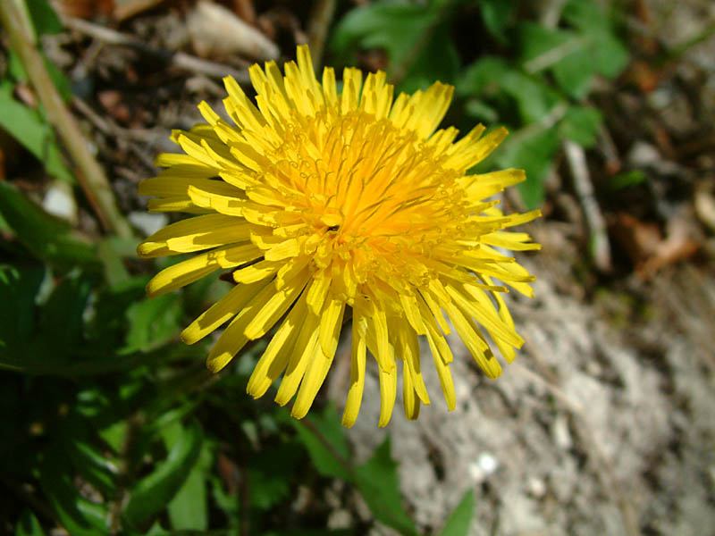 A dandelion (click for larger photo)