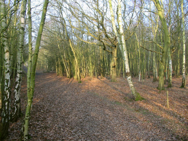 birch trees in Hainault Forest Country Park