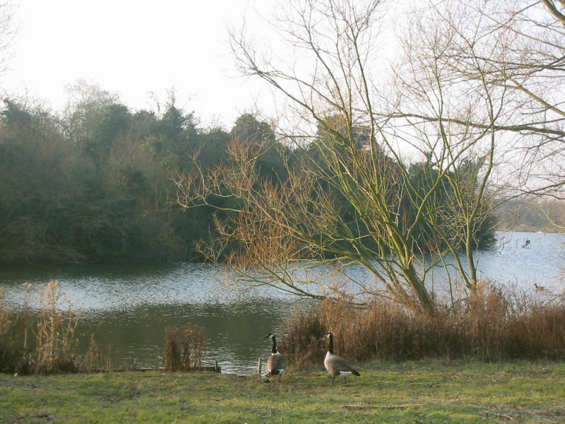 Canada geese in Hainault Forest Country Park