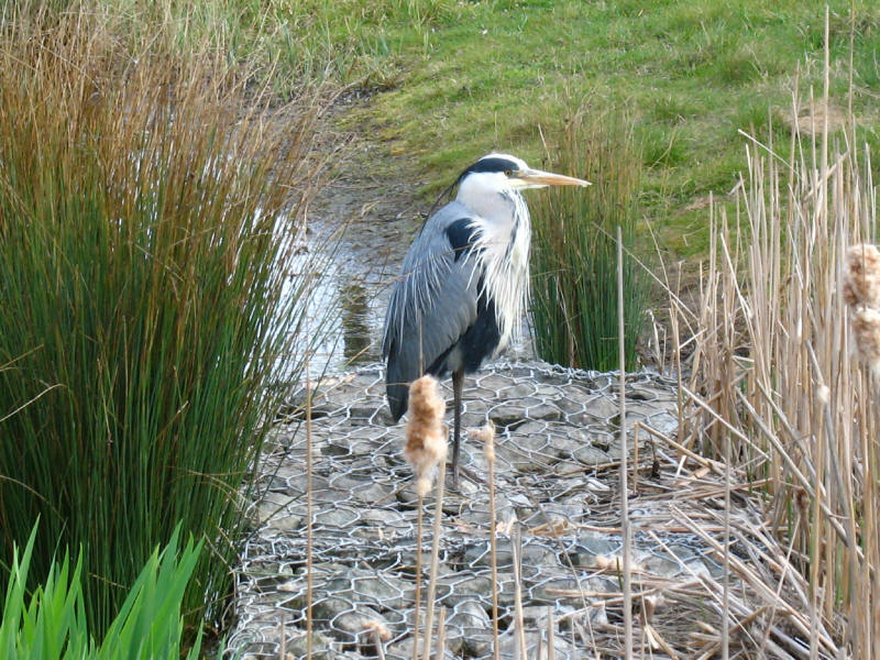 Heron in Mile End Park